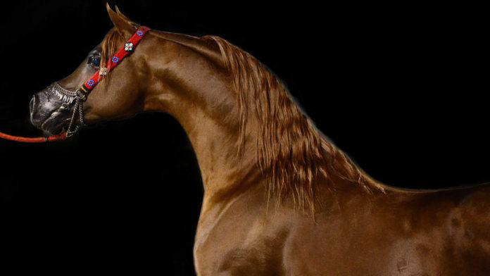 caballos de pura raza árabe