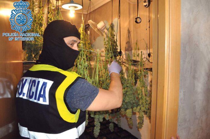 plantación de marihuana indoor
