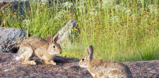 caza de conejos